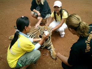 Feeding time for tiger cubs at Tiger Temple